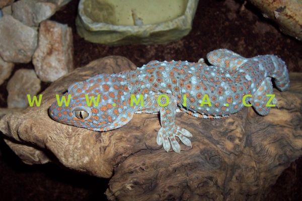 Gecko gecko – gekon obrovský
