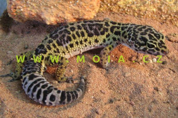 Eubublepharis macularius – gekončík noční