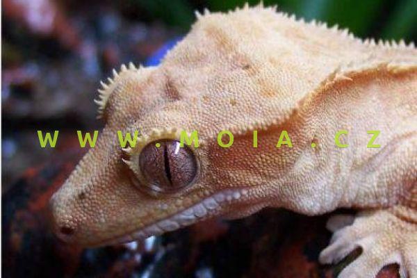 Rhacodactylus ciliatus – pagekon ušatý/řasnatý