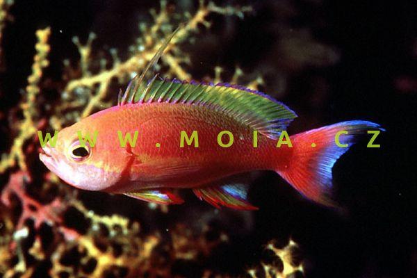"""Pseudanthias pulcherrimus """"male"""" – bradáč skvostný"""