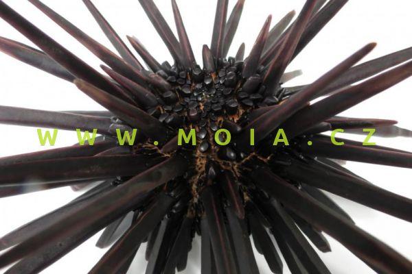 Heterocentrotus trigonarius  – ježovka plochotrnná