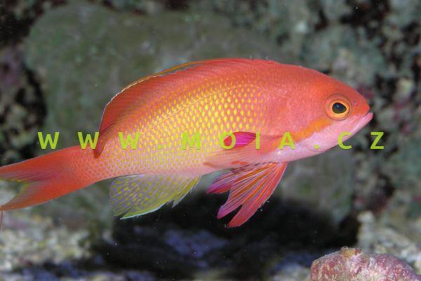 """Pseudanthias squamipinnis """"male"""" – bradáč šupinoploutvý"""