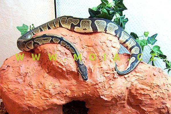 Python regius – krajta královská