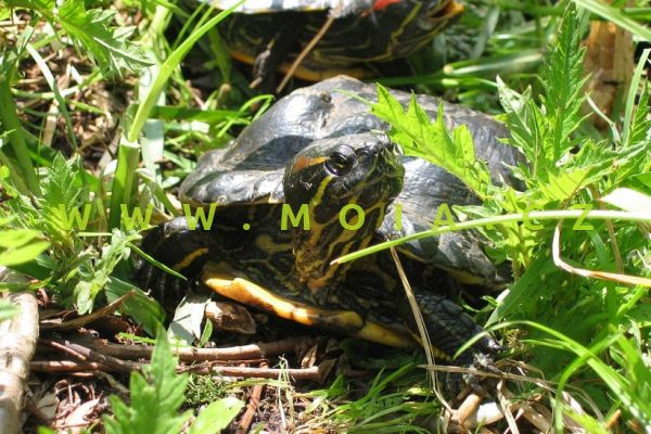 Trachemys scripta elegans – želva nádherná