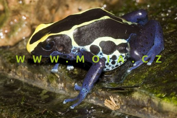 Dendrobates tinctorius – pralesnička barvířská