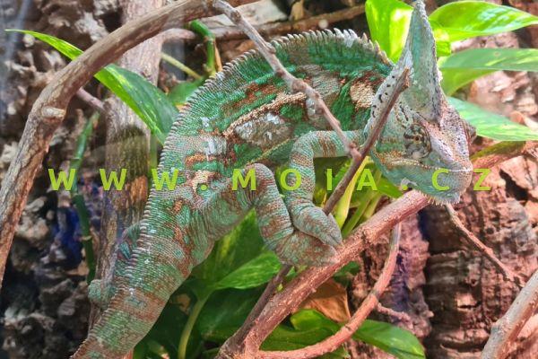 Chamaeleo calyptratus – chameleon jemenský