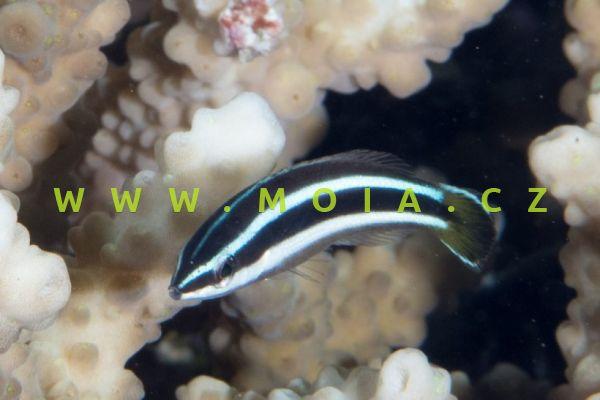 Diproctacanthus xanthurus  – pyskoun putující